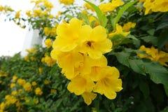 Μια μεγάλη συστάδα του κίτρινου παλαιότερου λουλουδιού Στοκ εικόνες με δικαίωμα ελεύθερης χρήσης