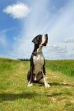 Μια μεγάλη φυλή σκυλιών Δανών Στοκ Φωτογραφία