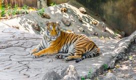 Μια μεγάλη χαλάρωση τιγρών Στοκ Φωτογραφίες