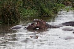 Μια μητέρα hippo που το μωρό του Στοκ φωτογραφία με δικαίωμα ελεύθερης χρήσης