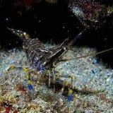 Μια μικρή γαρίδα στη θάλασσά μου στοκ φωτογραφία με δικαίωμα ελεύθερης χρήσης