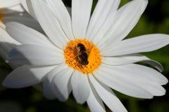 Μια μικρή μέλισσα συλλέγει τη γύρη στο λουλούδι γιγαντιαίο marguerite στοκ εικόνες