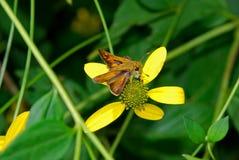 Μια μικρή μύγα σε ένα κίτρινο λουλούδι στοκ φωτογραφία
