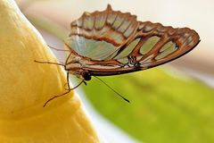 Μια μικρή πεταλούδα κάθεται σε μια κίτρινη σάλπιγγα αγγέλου στοκ εικόνα