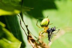 Μια μικρή πράσινη αράχνη που τρώει το έντομο Στοκ φωτογραφία με δικαίωμα ελεύθερης χρήσης