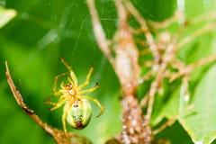 Μια μικρή πράσινη αράχνη στον Ιστό Στοκ εικόνες με δικαίωμα ελεύθερης χρήσης