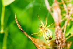 Μια μικρή πράσινη αράχνη στον Ιστό Στοκ εικόνα με δικαίωμα ελεύθερης χρήσης