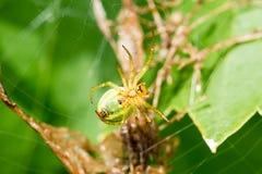 Μια μικρή πράσινη αράχνη Στοκ φωτογραφία με δικαίωμα ελεύθερης χρήσης