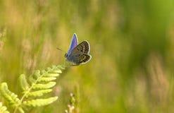 Μια μπλε Plebejus συνεδρίαση πεταλούδων idas Idas σε ένα φύλλο φτερών Στοκ Φωτογραφία