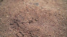 Μια μυρμηγκοφωλιά με τα μυρμήγκια που μπαίνουν και που αφήνουν στο σπίτι του Είσοδος στη μυρμηγκοφωλιά με την άφιξη και την αναχώ απόθεμα βίντεο