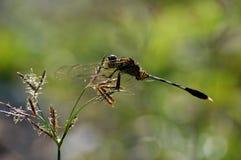 Μια μύγα δράκων στα κοκκώδη ζιζάνια στοκ εικόνες