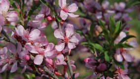 Μια μύγα μελισσών μελιού μεταξύ των ρόδινων ανθών barberry σε έναν οπωρώνα, που επικονιάζουν τα λουλούδια όπως επιδιώκει για το μ απόθεμα βίντεο