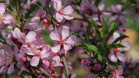 Μια μύγα μελισσών μελιού μεταξύ των ρόδινων ανθών barberry σε έναν οπωρώνα, που επικονιάζουν τα λουλούδια όπως επιδιώκει για το μ φιλμ μικρού μήκους