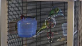 Μια μύγα παπαγάλων στο κλουβί απόθεμα βίντεο