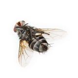 μια μύγα που απομονώνεται νεκρή στο λευκό Στοκ Φωτογραφία