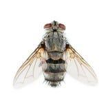 μια μύγα που απομονώνεται νεκρή στο λευκό Στοκ Εικόνα