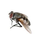 μια μύγα που απομονώνεται νεκρή στο λευκό Στοκ Εικόνες