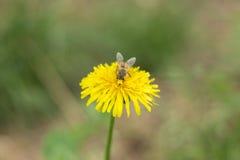 Μια μύγα σε ένα λουλούδι Απεικόνιση αποθεμάτων