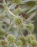 Μια μύγα χτυπήματος που ταΐζει με εγκαταστάσεις κάρδων Στοκ Εικόνες