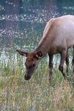 Μια νέα άλκη που τρώει τη χλόη από το νερό Στοκ εικόνες με δικαίωμα ελεύθερης χρήσης