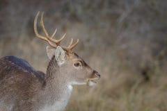 Μια νέα αγρανάπαυση buck Στοκ Εικόνα