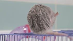 Μια νέα γυναίκα φροντίζει ένα κατοικίδιο ζώο, πλένει ένα τηγάνι κάτω από μια βρύση με το νερό και καθαρίζει ένα κλουβί στο λουτρό απόθεμα βίντεο