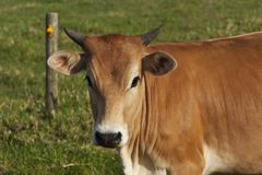 Μια νέα διαγώνια αγελάδα Brahman στοκ φωτογραφία με δικαίωμα ελεύθερης χρήσης