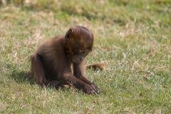 Μια νέα Baboon Gelada βοσκή Στοκ Φωτογραφίες