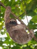 Μια νεολαία τρεις-το ζώο νωθρότητας στη ζούγκλα στοκ εικόνες