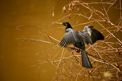 Μια ξήρανση anhinga Anhinga Anhinga από στον ήλιο SCE άγριας φύσης Στοκ φωτογραφίες με δικαίωμα ελεύθερης χρήσης