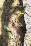 Μια οικογένεια δαχτυλίδι-necked parakeets στοκ εικόνες με δικαίωμα ελεύθερης χρήσης