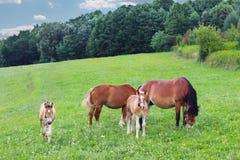 Μια οικογένεια κόκκινα workhorses βόσκει στην πολύβλαστη πράσινη χλόη Επιβήτορες και ενήλικα άλογα έλξης Κτηνοτροφική παραγωγή κα στοκ εικόνα