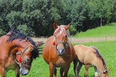 Μια οικογένεια κόκκινα workhorses βόσκει στην πολύβλαστη πράσινη χλόη Επιβήτορες και ενήλικα άλογα έλξης Κτηνοτροφική παραγωγή κα στοκ εικόνες με δικαίωμα ελεύθερης χρήσης