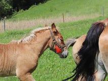 Μια οικογένεια κόκκινα workhorses βόσκει στην πολύβλαστη πράσινη χλόη Επιβήτορες και ενήλικα άλογα έλξης Κτηνοτροφική παραγωγή κα στοκ φωτογραφία με δικαίωμα ελεύθερης χρήσης