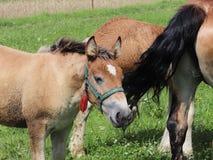 Μια οικογένεια κόκκινα workhorses βόσκει στην πολύβλαστη πράσινη χλόη Επιβήτορες και ενήλικα άλογα έλξης Κτηνοτροφική παραγωγή κα στοκ εικόνα με δικαίωμα ελεύθερης χρήσης