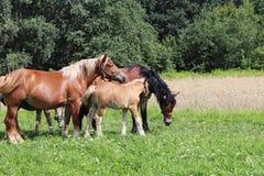 Μια οικογένεια κόκκινα workhorses βόσκει στην πολύβλαστη πράσινη χλόη Επιβήτορες και ενήλικα άλογα έλξης Κτηνοτροφική παραγωγή κα στοκ φωτογραφίες με δικαίωμα ελεύθερης χρήσης