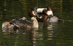 Μια οικογένεια του μεγάλου λοφιοφόρου cristatus Grebe Podiceps που κολυμπά σε έναν ποταμό Τα μωρά είναι σε ένας από τους γονείς π Στοκ Εικόνες