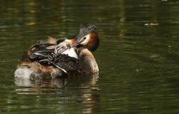 Μια οικογένεια του μεγάλου λοφιοφόρου cristatus Grebe Podiceps Τα μωρά τους οδηγούν στην πλάτη ένας από τους γονείς Στοκ εικόνα με δικαίωμα ελεύθερης χρήσης