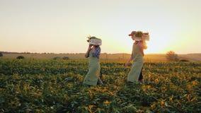 Μια οικογένεια των αγροτών φέρνει τα κιβώτια με τα λαχανικά πέρα από τον τομέα Οργανική καλλιέργεια και υγιής έννοια κατανάλωσης απόθεμα βίντεο