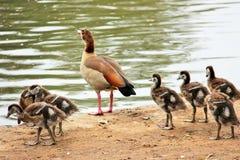 Μια οικογένεια των παπιών κοντά στη λίμνη στοκ εικόνες