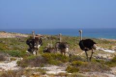 Μια οικογένεια των στρουθοκαμήλων που περπατά στη θάλασσα Στοκ φωτογραφία με δικαίωμα ελεύθερης χρήσης