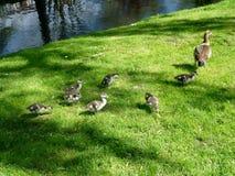 Μια οικογένεια των χήνων Στοκ φωτογραφία με δικαίωμα ελεύθερης χρήσης