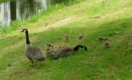 Μια οικογένεια των χήνων Στοκ Εικόνες