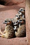 Μια οικογένεια των χαριτωμένων meerkats στοκ εικόνα