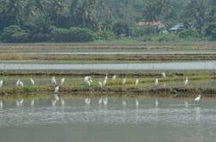 Μια ομάδα άσπρου πουλιού εμφανίζεται στον τομέα ορυζώνα στοκ φωτογραφία με δικαίωμα ελεύθερης χρήσης