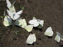 Μια ομάδα άσπρων μικρών πεταλούδων που κάθεται στο έδαφος στοκ φωτογραφίες