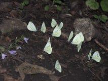 Μια ομάδα άσπρων πεταλούδων που κάθεται στο έδαφος Στοκ Φωτογραφίες