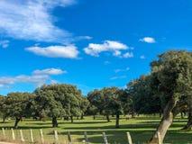 Μια ομάδα αγελάδων grazin στο λιβάδι με τις βαλανιδιές ακροποταμιών και έναν μπλε νεφελώδη ουρανό φρακτών και στην Ισπανία Στοκ φωτογραφίες με δικαίωμα ελεύθερης χρήσης