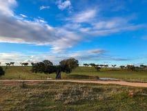 Μια ομάδα αγελάδων grazin στο λιβάδι με τις βαλανιδιές ακροποταμιών και έναν μπλε νεφελώδη ουρανό φρακτών και στην Ισπανία Στοκ Φωτογραφίες