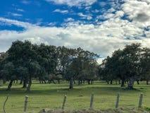 Μια ομάδα αγελάδων grazin στο λιβάδι με τις βαλανιδιές ακροποταμιών και έναν μπλε νεφελώδη ουρανό φρακτών και στην Ισπανία Στοκ Φωτογραφία